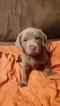 Labrador Retriever Puppy For Sale in LE MARS, IA