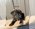 Small Mountain Cur