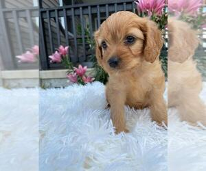 Cavapoo Puppy for sale in GLENMOORE, PA, USA