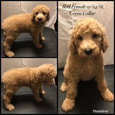 Poodle (Standard) Puppy For Sale in SALT LAKE CITY, UT, USA