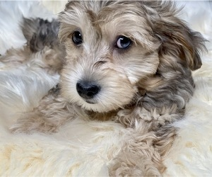YorkiePoo Puppy for sale in GEORGETOWN, TX, USA