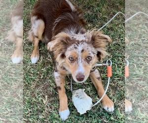 Australian Shepherd Puppy for sale in FORT WORTH, TX, USA