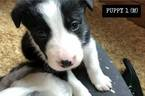 Puppy 6 Border Collie