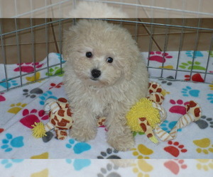 Poochon Puppy for sale in ORO VALLEY, AZ, USA
