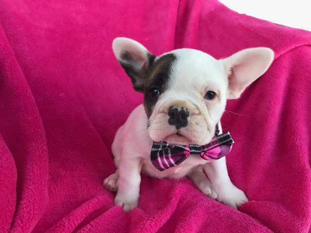 french bulldog for sale in pa view ad french bulldog puppy for sale pennsylvania 7719