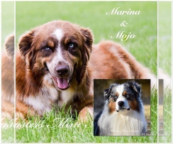 Medium Photo #1 Australian Shepherd Puppy For Sale in EASTON, MO, USA