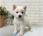 Small Photo #3 Shiba Inu Puppy For Sale in BEVERLY HILLS, CA, USA