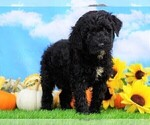 Small #2 Miniature Bernedoodle