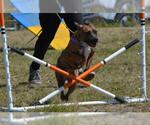 Small #218 American Pit Bull Terrier