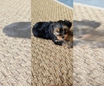 Image preview for Ad Listing. Nickname: Male yorkie pup