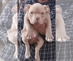 Small #7 American Pit Bull Terrier