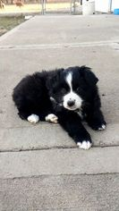 Australian Shepherd Puppy for sale in PLEASANT HILL, MO, USA