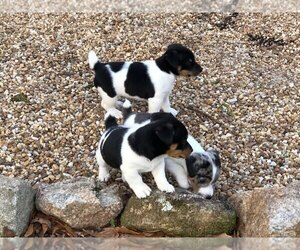 Jack Russell Terrier Puppy for sale in GREENVILLE, GA, USA
