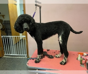 Poodle (Standard) Puppy for sale in ROMEOVILLE, IL, USA