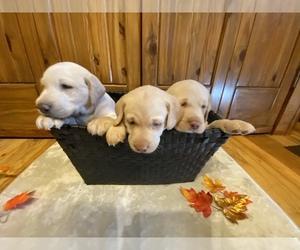 Labrador Retriever Puppy for Sale in CONOVER, North Carolina USA