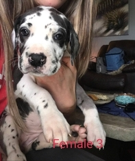 Great Dane Puppy For Sale in ARCHERS LODGE, NC, USA