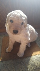 Komondor-Poodle (Standard) Mix Puppy For Sale in BLACK MOUNTAIN, NC