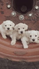 Schnoodle (Miniature) Puppy For Sale in PROSPERITY, PA, USA