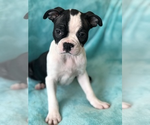 Boston Terrier Dog for Adoption in KENDALL, Florida USA
