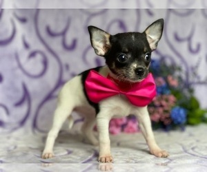 Chihuahua Puppy for sale in LANCASTER, PA, USA