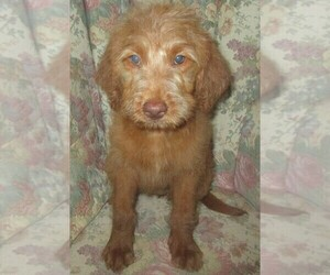 Labradoodle Puppy for sale in LINCOLN, AL, USA