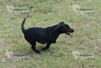 Labrador Retriever Puppy For Sale in SANGER, TX, USA