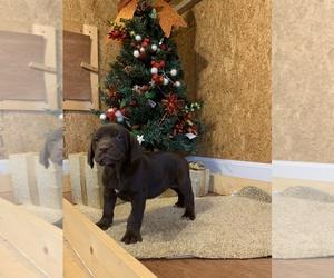 German Shorthaired Lab Puppy for Sale in CASSVILLE, Missouri USA