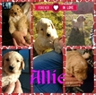 Goldendoodle Puppy For Sale in COLLBRAN, CO