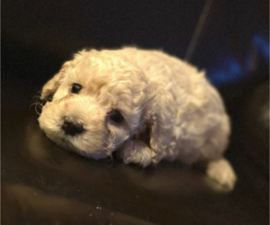 Cock-A-Poo Puppy for sale in FREDERICKSBURG, VA, USA
