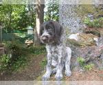 Puppy 3 German Wirehaired Pointer