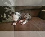Puppy 5 Catahoula Leopard Dog