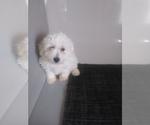 Puppy 2 Bichon Frise