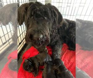 Schnauzer (Giant) Puppy for sale in STOCKBRIDGE, GA, USA