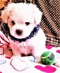 Maltese Puppy For Sale in PISCATAWAY, NJ, USA