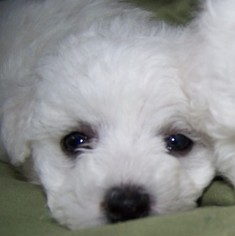 Bichon Frise Puppy For Sale in EUGENE, OR, USA