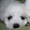 Fluffy White Bouncy Boy AKC Bichons Available