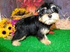 Poodle (Toy)-Yorkshire Terrier Mix Puppy For Sale in HAMMOND, IN, USA