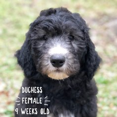 Sheepadoodle Puppy For Sale in JACKSONVILLE, FL, USA