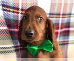 Simba the Irish Setter