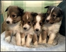 Shetland Sheepdog Puppy For Sale in STATHAM, GA, USA