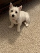 West Highland White Terrier Puppy For Sale in PHENIX CITY, AL, USA