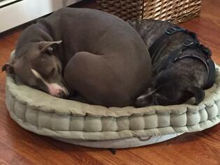 Samera & Lucky Charm (courtesy listing) - American Staffordshire Terrier Dog For Adoption