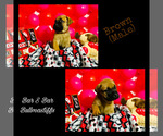 Puppy 10 Bullmastiff