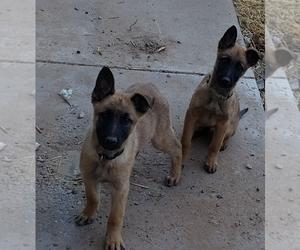 Malinois Puppy for sale in ALBUQUERQUE, NM, USA
