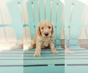 Goldendoodle Puppy for sale in NOBLESVILLE, IN, USA