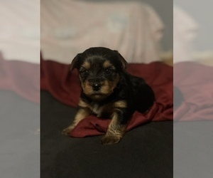 Yorkiepoo-Yorkshire Terrier Mix Puppy for sale in WARREN, MI, USA