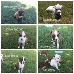 Boxer Puppy For Sale in OWASSO, OK