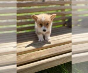 Pembroke Welsh Corgi Puppy for Sale in SPENCER, Tennessee USA