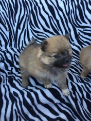 Pomeranian Puppy for sale in MILLEDGEVILLE, GA, USA