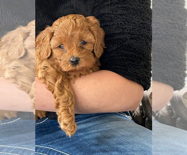 Full screen Photo #1 Cavapoo Puppy For Sale in MILLCREEK, UT, USA
